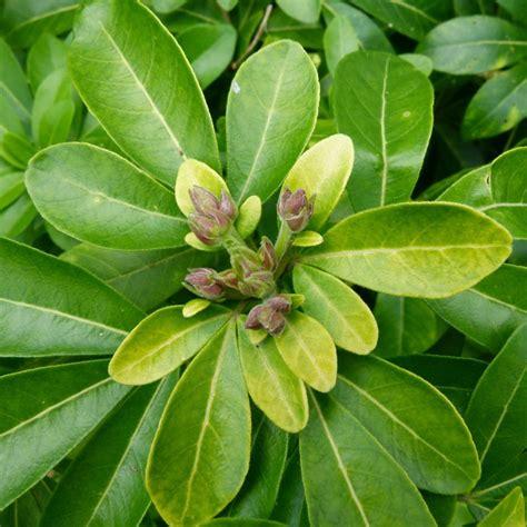 oranger du mexique plantes et jardins