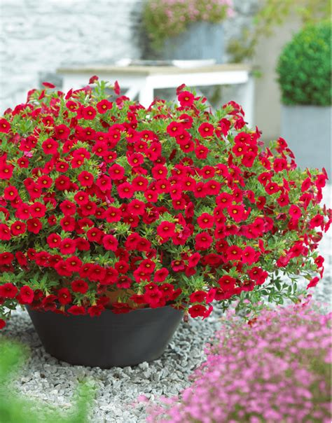 million bells million bells bouquet red the non stop blooming calibrachoa