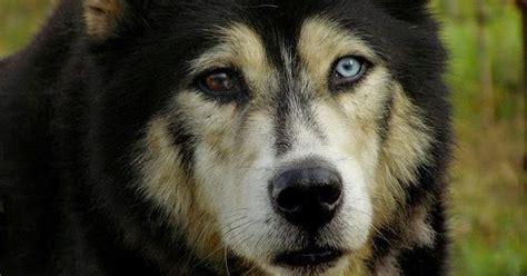 white wolf  striking   huskies