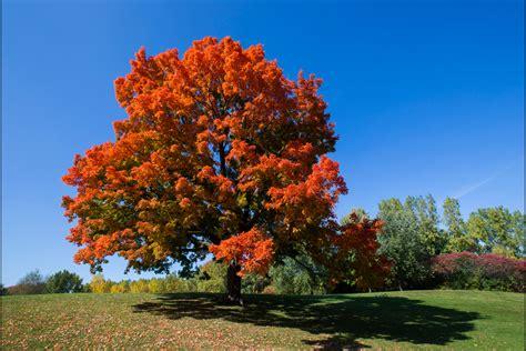 maples tree sugar maple tree facts