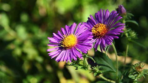 Pflanzen Im März by Astern Pflanzen Und Pflegen So Gehen Sie Vor