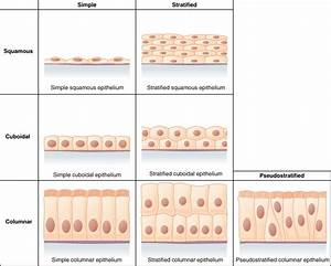 4 2 Epithelial Tissue  U2013 Anatomy And Physiology