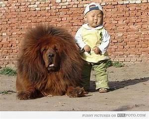 Tibetan Mastiff Attack Tiger | www.pixshark.com - Images ...
