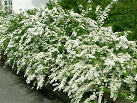 Vediamo quali piante sono più adatte a questo scopo e come introdurla nel tuo giardino. Siepe con fiori - Siepi - Siepe fiorita