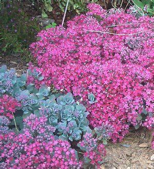 zone 10 shade plants lidakense sedum zone 3 9 10 12 quot full sun part shade plant in masses privacy in a small