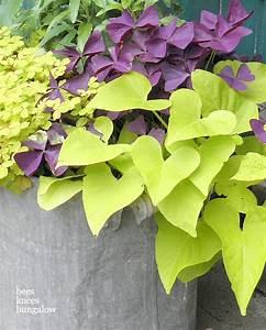 clover and potato vine   gardening   Pinterest