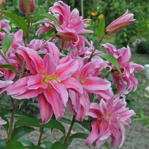 wann pflanzt tulpen blumenzwiebeln wann pflanzen blumenzwiebeln tulpen narzissen krokusse und andere blumenzwiebeln