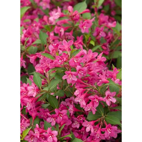 flowering hedges florida proven winners sonic bloom pink reblooming weigela florida live shrub pink flowers 3 gal