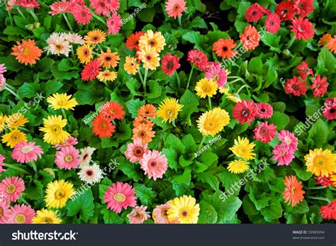 multi colored flowers multicolored flowers stock photo 59985994