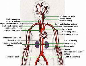 15 3a  Anatomy Of Human Circulatory System