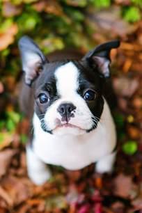 winnie the boston terrier puppy kevin amanda