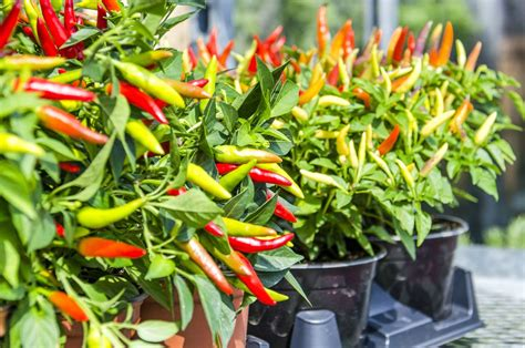 ornamental pepper plant care  growing guide