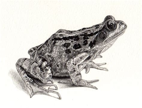 Free Frog Drawing Download Free Clip Art Free Clip Art
