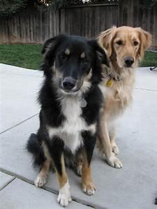 Border Collie Australian Shepherd Mix | Dogs | Pinterest ...