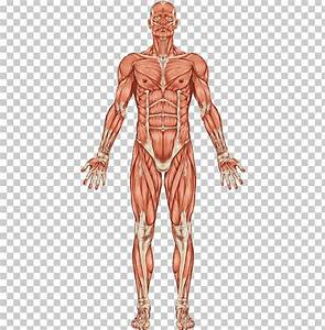 The Muscular System Human Body Muscle Human Skeleton Png