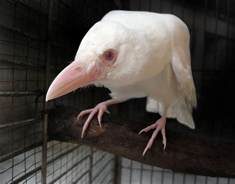 White Crow By Redwattlebird On Deviantart