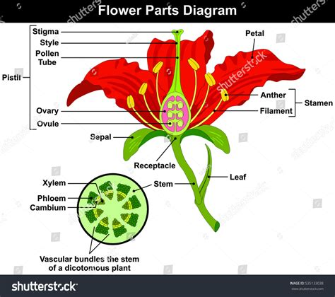 Carnation Anatomy Diagram by Flower Parts Diagram Stem Cross Section Stock Illustration