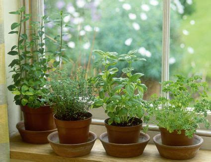 Growing Tomatoes Indoors On A Windowsill by How To Grow Herbs Indoors On A Windowsill