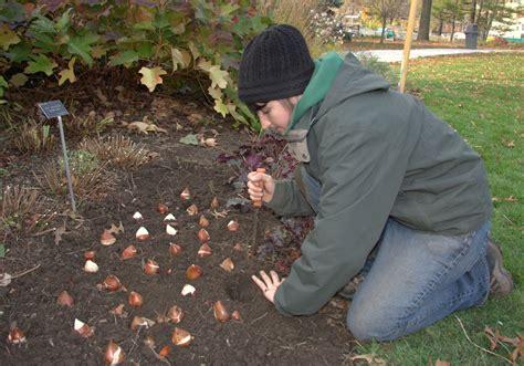 Tips Planting Fall Bulbs by Fall Bulb Planting Part 2 Botanical Garden