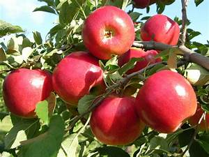 12 Popular Fruit Bearing Trees That Are Easy To Grow  U2013 The