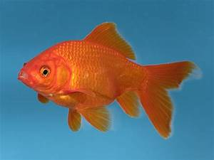 Man Splashes Out  U00a3300 On Vet Bill For Beloved Office Goldfish Suffering From Constipation