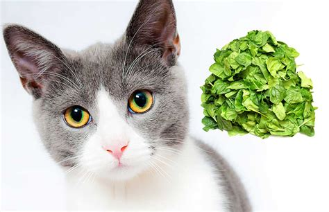 can cats have spinach and artichoke dip