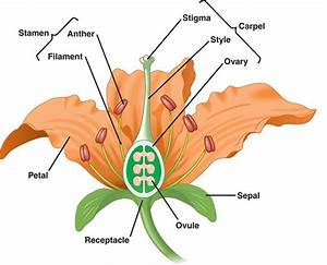 Science Quiz 17  More Plants  Flower Dissection