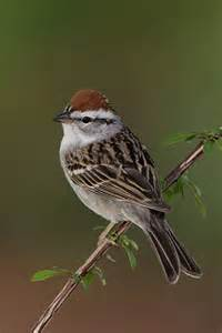 Chipping Sparrow Bird