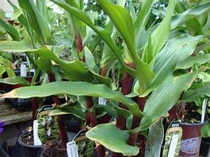 danger garden: Roscoea purpurea 'Cinnamon Stick'