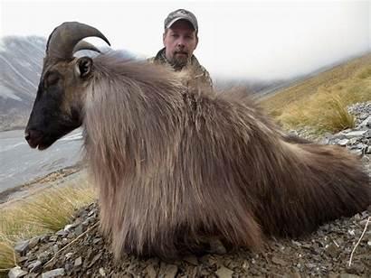 Tahr Hunting Bull Zealand Himalayan Trophy Nz