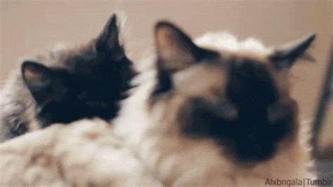 Cats Licking S Find And Share On Giphy