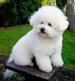 non shedding breed bichon frises all about bichon frises