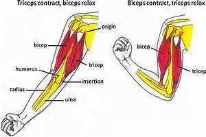 And Triceps Diagram
