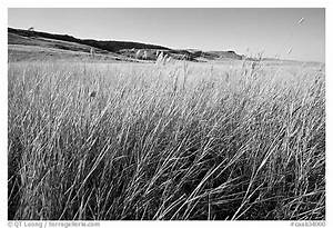 Black and White Picture/Photo: Tall prairie grasses with ...