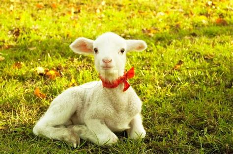 pictures of small beautiful small lamb stock photo colourbox