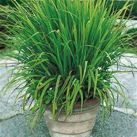 citronella plants for sale citronella plants for sale citronella grass cymbopogon