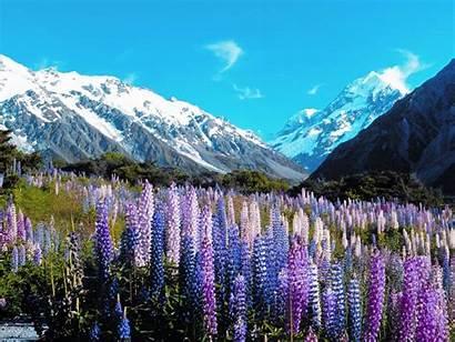 Tours Zealand Christchurch Queenstown Cook Lupins Tour