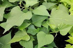 Pflanzen Kübel : s kartoffel anbau im garten k bel tipps zum pflanzen ~ Pilothousefishingboats.com Haus und Dekorationen