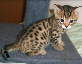 cheetah cats adorable cat that looks like a cheetah