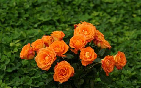 Beautiful Orange Roses Wallpapers by Roses Widescreen Wallpaper