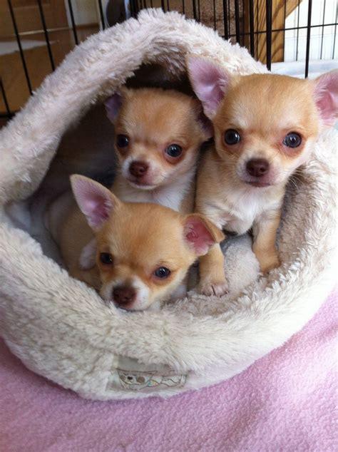 ** 3 Precious Kc Reg Chihuahua Puppies For Sale** Wigan