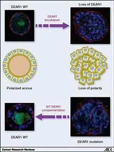 Dear1  A Novel Tumor Suppressor That Regulates Cell