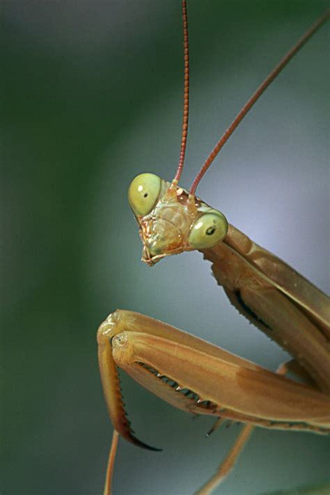 Hairworm Observed Emerging From Mantis  Science Buzz