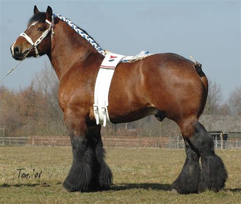 draft horse dutch horses breeds percheron clydesdale draught vs breed heavy heaviest stallion hands shire pethelpful belgian strong ardennes pretty