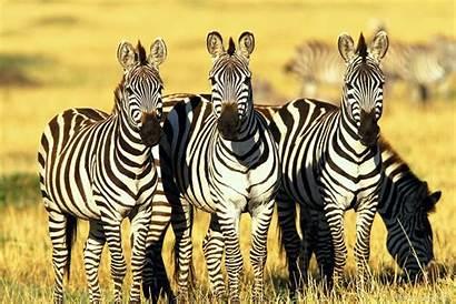 Zebra Wildlife Wallpapers