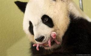 First Panda Cubs Born in France PEOPLE com