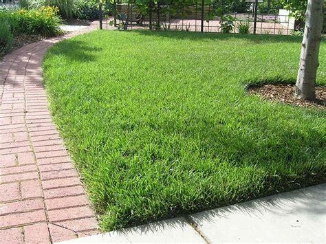 what type of grass is sod quiet corner tall fescue grass for lawn quiet corner
