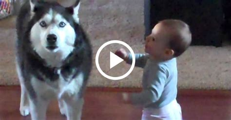 apparently  baby  husky speak   language