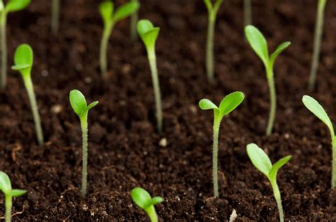 how to grow a seedling seeds growing www imgkid com the image kid has it