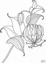 Lily Coloring Gloriosa Pages Flower Lilies Tropical Glory Tiger Drawing Printable Tattoo Calla Simple Rothschildiana Flowers Hydrangea Protea Sketch Getdrawings sketch template